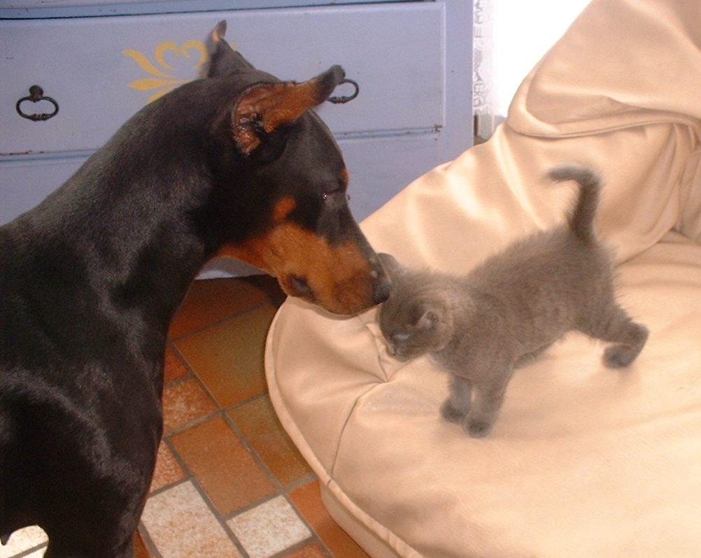 chien agressif avec chaton, prédation chien sur le chat, chien qui a peur du chat, chat qui n'accepte pas le chiot